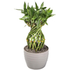 1.25-Quart Lucky Bamboo Large Braid in Planter