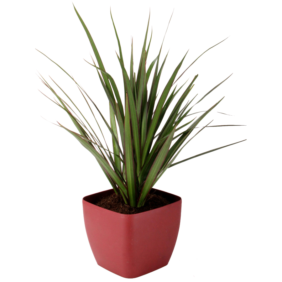 Shop quart dracaena marginata bush in planter at for Dracaena marginata