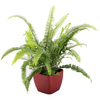 1.25 Quart Kimberly Queen Fern in Planter