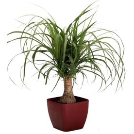 1.25 Quart Ponytail Palm in Planter