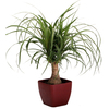  1.25 Quart Ponytail Palm in Planter
