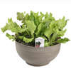 1.25-Gallon Simply Salad Global Gourmet Blend Lettuce Plant (Lb21826)