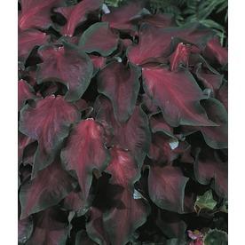 Garden Club Select 2.5-Quart Red Ruffles Caladium (L23463)