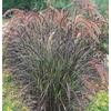 1-Gallon Purple Fountain Grass (L8564)
