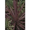 1-Quart Cordyline (Lw01509)