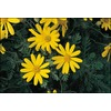 2.5-Quart Bush Daisy (L10442)