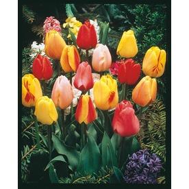 1.4-Quart Tulip Bulbs