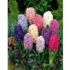 1.25-Quart Hyacinth Bulbs