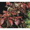 2.5-Quart Copper Plant (L4635)