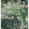 2.5-Quart Fountain Grass (L4997)