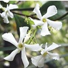 Quart Confederate Star Jasmine (L3067)