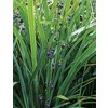 2-Gallon Flax Lily (L20613)