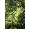 1-Quart Macho Fern (LTl0051)