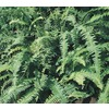 1-Quart Kimberley Queen Fern (LTl0052)