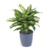 3.25-Quart Perfection Dieffenbachia