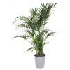 3.25-Quart Cat Palm