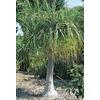 1.75-Gallon White Ponytail Palm Feature Shrub (L9998)