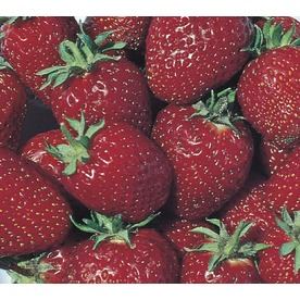 1.5-Gallon Strawberry Small Fruit (L00574)