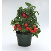 1-Gallon Sweet-N-Neat Cherry Tomato Plant (LB21629)