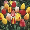 1-Gallon Tulip Bulbs