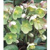  2.5-Quart Lenten Rose (L10982)