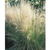 1-Quart Grey Hair Grass (L17150)