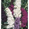 3-Gallon Mixed Butterfly Bush (L8073)
