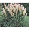 3-Gallon Dwarf Pampas Grass (L9229)