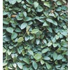 9-Pack Creeping Fig (L10844)