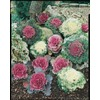 9-Pack Ornamental Kale (L14885)