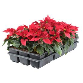  6 Pack Poinsettia (L17756hp)
