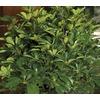 2-Gallon Arboricola (L20916HP)
