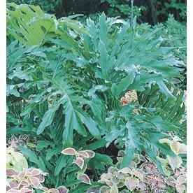 2-Gallon Big Leaf Philodendron (L5793)