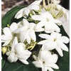 2-Gallon White Arabian Jasmine (L5922)