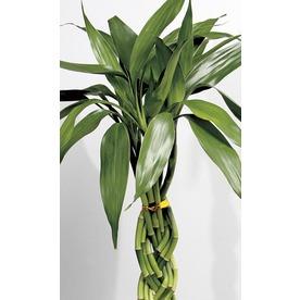 4-Ounce Lucky Bamboo (L20953hp)
