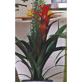 1.5-Pint Bromeliads (L20921HP)