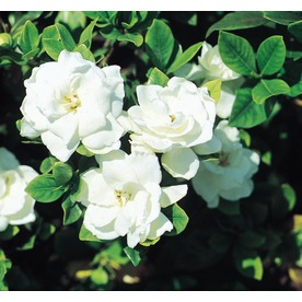 1.25-Quart White Veitchii Gardenia (L10719)