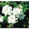 1.25-Quart White Veitchii Gardenia Flowering Shrub (L10719)