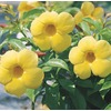 2 Gallon Yellow Allamanda Bush (L3415)