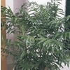 3.25-Gallon Bamboo Palm (L9390HP)