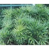 10.25-Gallon Lady Palm (L10147)