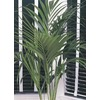 10.25-Gallon Kentia Palm (L9408HP)