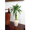 Lucky Bamboo (L20953hp)