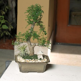 Bonsai (L20919hp)