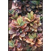 1.25-Quart Assorted Croton (L5448)