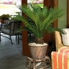 2.75-Quart Sago Palm (L20969hp)