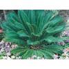6.5-Gallon Sago Palm (LTL0026)