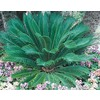 5.5-Gallon Sago Palm (Ltl0026)