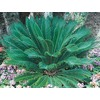 13-Gallon Sago Palm (Ltl0026)