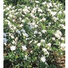 2-Gallon White Gardenia (L5150)